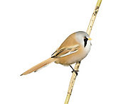 Bearded Tit/Bearded Reedling Panurus biarmicus - Male. L 16-17cm. Reedbed specialist with a rounded body and long tail. Distinctive call leads to affectionate nickname of 'pinger'. Forms flocks outside breeding season. Sexes are dissimilar Adult male has sandy brown body and tail, with black and white markings on wings. Head is blue-grey with black 'moustache'. beady yellow eye and yellow bill. Adult female is similar but head is sandy brown. Juvenile is similar to adult female but back is blackish, throat is whiter and eye colour is darker. Voice Utters diagnostic, high-pitched ping call. Song is seldom heard. Status Rather scarce and associated exclusively with extensive reedbeds.