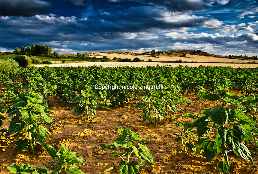Plants of tobacco in the spanish meseta under a stormy sky and the sun brightening up the whole scenary