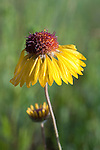 Blanket flower blossom past its peak bloom