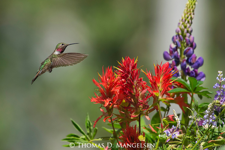 A Broad-tailed Hummingbird flies near colorful flowers in Jackson Hole, Wyoming.
