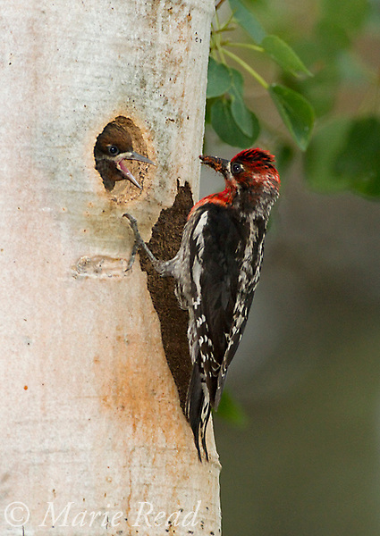 Red-breasted Sapsucker (Sphyrapicus ruber) (beakful of ants) feeding large nestling at entrance of nest hole in aspen trunk, Parker Canyon, Mono Lake Basin, California, USA