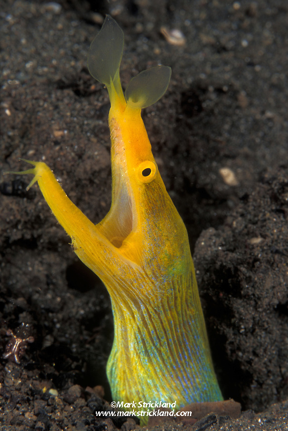 Ribbon Eel, Rhinomuraena quaesita, showing unusual solid yellow coloration, indicating it has transformed from male to female. North Sulawesi, Indonesia, Pacific Ocean