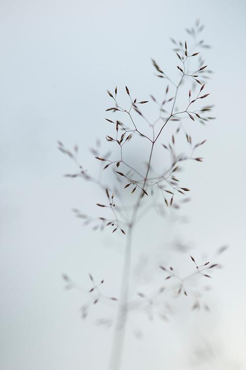 Common Bent, Agrostis capillaris, in Hanger's meadow. Wakehurst Place - Royal Botanic Gardens, Kew. Ardingly, West Sussex, UK.