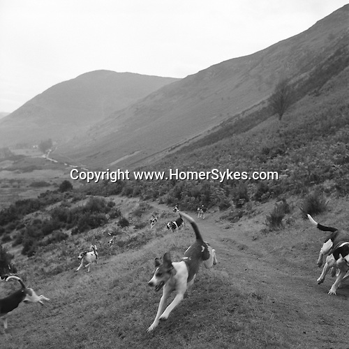 The Blencathra Foxhounds.  The Blencathra foxhounds are considered by many to be one of the fastest packs in the country. They hunt a mixed pack of dogs and bitches. Hunting with Hounds / Mansion Editions (isbn 0-9542233-1-4) copyright Homer Sykes. +44 (0) 20-8542-7083. < www.mansioneditions.com >