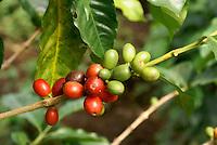 Ripening shade grown organic coffee beans at Finca Selva Negra near Matagalpa, Nicaragua.