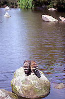 Two Wild Raccoons (Procyon lotor) standing side by side on Rock in Lake