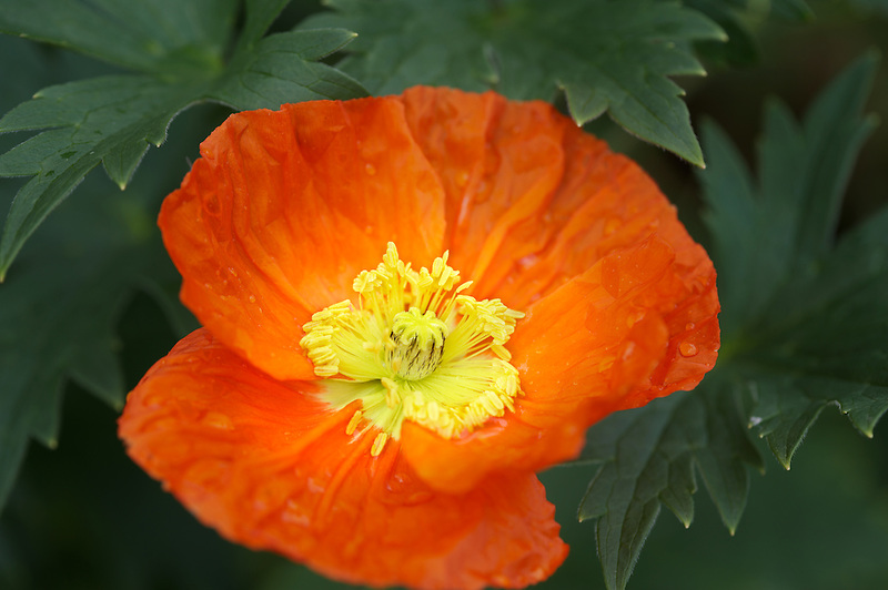 Orange poppy. Schreiner's Iris Gardens. Oregon