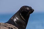 Guadalupe Island, Baja California, Mexico; a Guadalupe fur seal warming itself on the rocks in late afternoon sunlight
