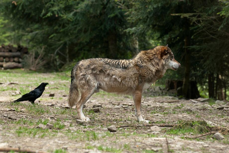 Wolf (Canis lupus) met raaf