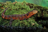 Chinese Crocodile Lizard. Male..Rare & Endangered. China..Shinisaurus crocodilurus. Captive.