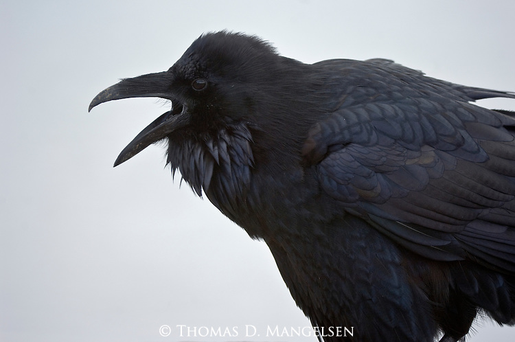 Portrait of a raven in Yellowstone National Park, Wyoming.