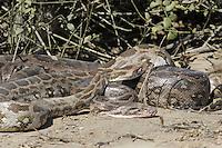 Indian Python - Python molurus