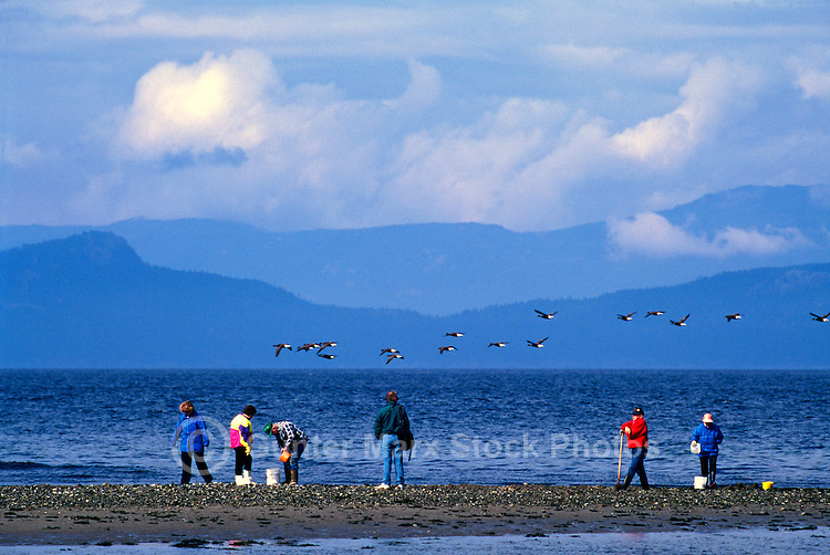 Rathtrevor Beach Provincial Park (Oceanside Region), Vancouver Island, BC, British Columbia, Canada - People digging for Clams on Beach and Flock of Brant Geese (Branta bernicla), Migrating Birds