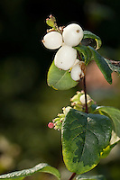 Gewöhnliche Schneebeere, Knallerbsenstrauch, Frucht, Knallerbse, Symphoricarpos albus, Snowberry, Waxberry
