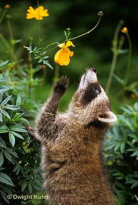 MA21-040x  Raccoon - young animal exploring - Procyon lotor