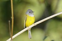 Grey-headed Canary Flycatcher - Culicicapa ceylonensis