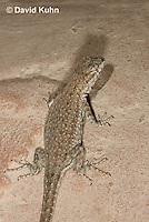 0613-1006  Side-blotched Lizard, Uta stansburiana (syn. Uta antiqua or Uta stellata)  © David Kuhn/Dwight Kuhn Photography