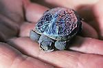 Young Diamondback Terrapin