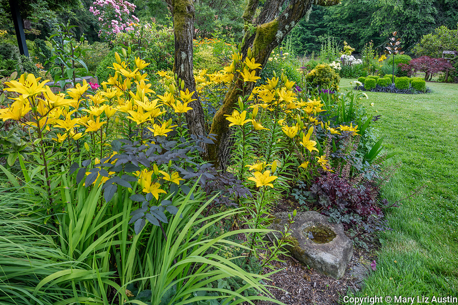 Vashon Island, Washington: Summer perennial garden featuring ornamental grasses, actea, heuchera and Asian lilies; Froggsong garden in summer