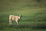 Lone white young calf cow standing in green grass spring ranch pasture field, Mariposa, California