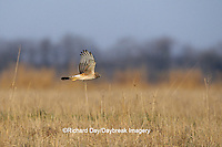 00803-00711 Northern Harrier (Circus cyaneus) female in flight Prairie Ridge SNA, JC   IL