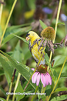 01640-16302 American Goldfinch (Spinus tristis) male eating Purple Coneflower seeds., Marion Co., IL