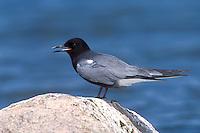 Black Tern - Chlidonias niger - Breeding adult