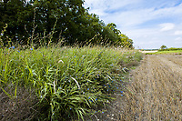 Field margin - Suffolk, August