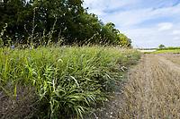 Field margin - Suffolk, August