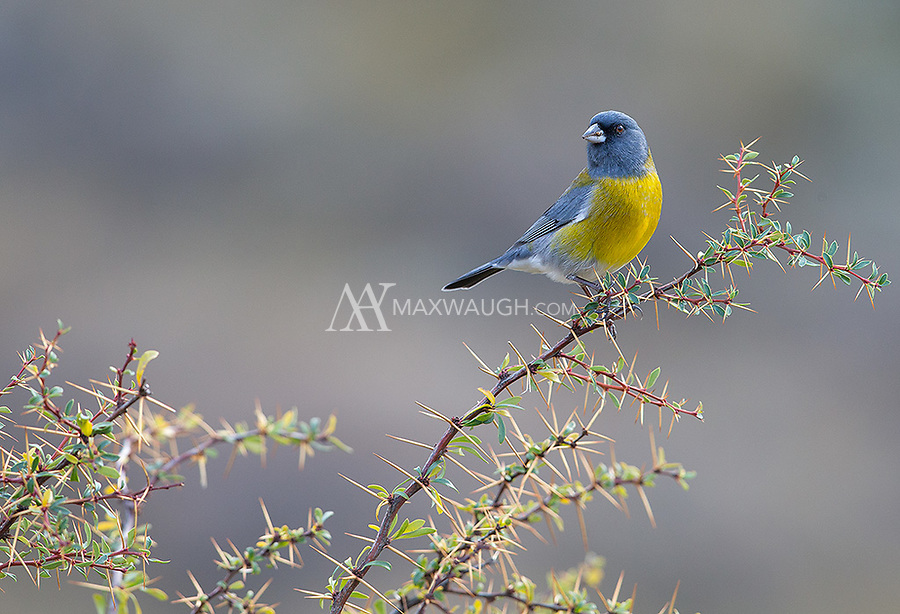 The Gray-hooded Sierra finch is one of southern Chile's more colorful birds.