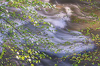 Dogwood Cascade