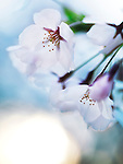 Beautiful cherry blossom flowers on blue sky background at sunrise