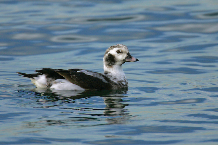 Long-tailed Duck - Clangula hyemalis - winter male