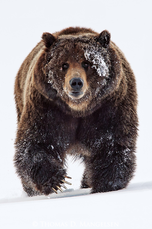 A large male grizzly bear walks through the still deep spring snow, following its mate in Yellowstone National Park.