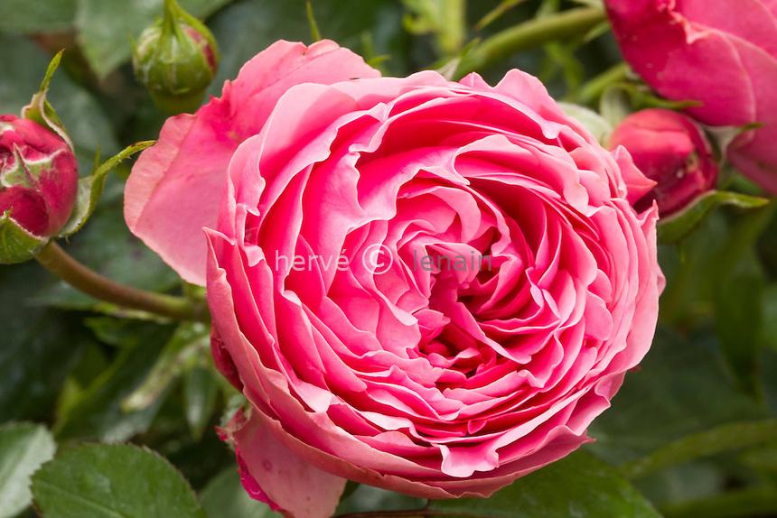 Rose 'Léonard de Vinci', Rosa 'Léonard de Vinci'.
