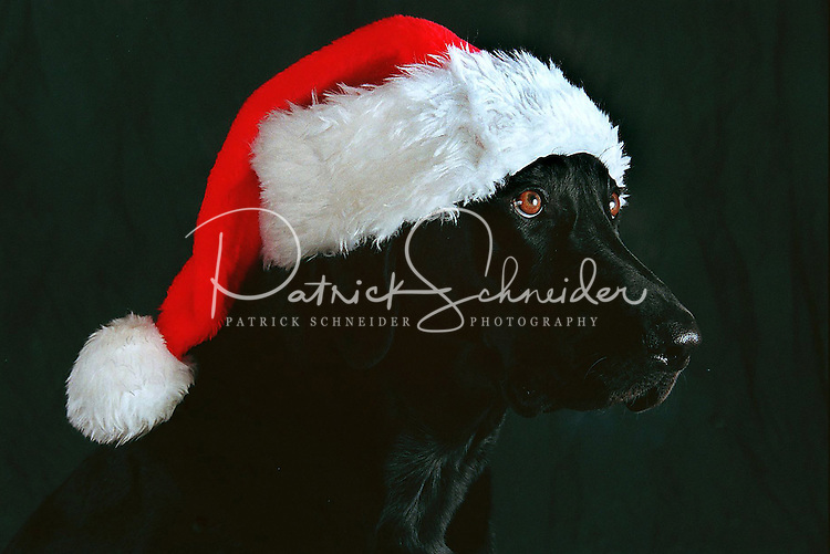 A black Labrador retriever dog wears a Santa hat in anticipation of Christmas.