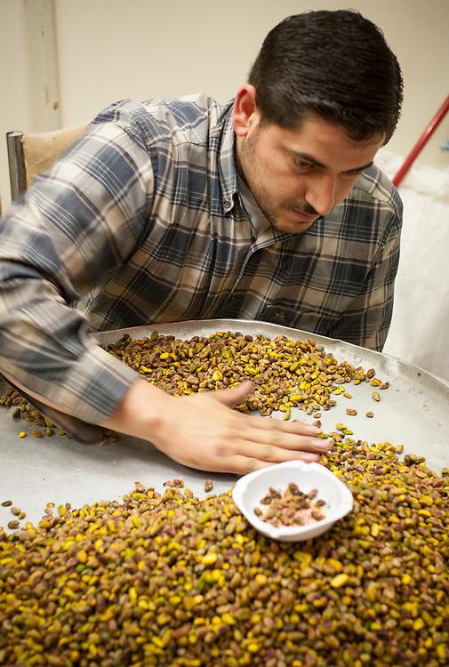 Syria. Aleppo. The suqs and khans of Aleppo. A young middle-eastern man is selecting the pistachios for sale.<br /> Syrie. Aleppo. Les souks et khans d'Alep. Un jeune homme moyen-oriental trie les pistaches pour la vente.