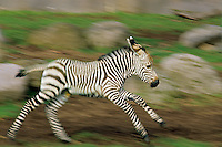 Very young Hartmann Mountain Zebra (Equus zebra hartmannae) foal or colt.