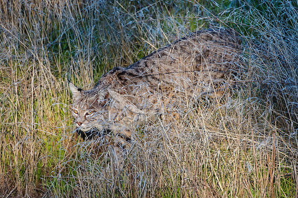 Wild Bobcat (Lynx rufus) stalking though grass in Central California.  December.  (Completely wild, non-captive cat.)