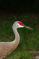 Sandhill Crane in north central Florida