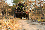 African Lion (Panthera leo) trackers, Christopher Muduwa and Timbo Frackson, looking for tracks during transect, with biologist Xia Stevens, looking for herbivores, Kafue National Park, Zambia
