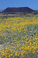 Hairy desert sunflower, also sometimes called desert gold (Geraea canescens) Amboy Crater, Mojave Desert, California