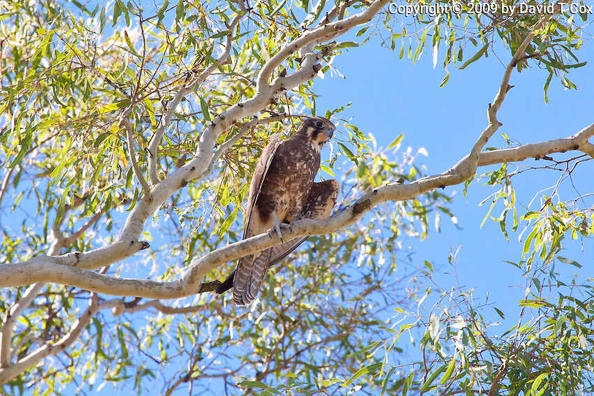 Brown Falcon, near Eungella NP, Queensland, Australia