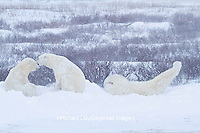 01874-13210 Polar Bears (Ursus maritimus) during snowstorm Churchill Wildlife Management Area, Churchill, MB