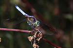perching dragonlfy waiting for an insect meal to fly by