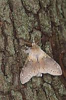 Buchen-Zahnspinner, Buchenspinner, Buchen-Spinner, Stauropus fagi, lobster moth, Zahnspinner, Notodontidae