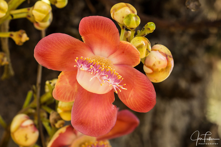 This unusual-looking flower grows from the trunk of the Cannonball Tree, Couroupita guianensis.  It is a native to Central and South America.  Georgetown Botanical Gardens, Georgetown, Guyana.