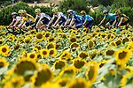 The peloton including Yellow Jersey Julian Alaphilippe (FRA) Deceuninck-Quick Step race by the sunflower fields during Stage 11 of the 2019 Tour de France running 167km from Albi to Toulouse, France. 17th July 2019.<br /> Picture: ASO/Pauline Ballet | Cyclefile<br /> All photos usage must carry mandatory copyright credit (© Cyclefile | ASO/Pauline Ballet)