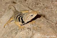 0612-1020  Great Basin Collared Lizard (Mojave Black-collared Lizard), Crotaphytus bicinctores  © David Kuhn/Dwight Kuhn Photography