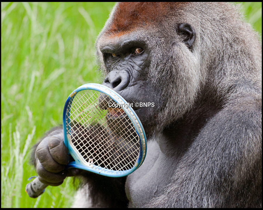 BNPS.co.uk (01202 558833)<br /> Pic: Ian Turner/BNPS<br /> <br /> You cannot be serious...!<br /> <br /> It seems even the Gorilla's at Longleat are getting in the Wimbledon spirit - although it would take a brave umpire to argue with Boulas the 35 stone male at the Wiltshire Safari Park. <br /> <br /> Keepers gave the 26 year old silverback a racket as part of their mental stimulation plan to keep the attraction's animals alert and inquisitive.<br /> <br /> And with the full sized racket seemingly dwarfed in his huge hands, even the famously belligerent John McEnroe might think twice before challenging a line call- and it would take a brave umpire indeed to penalise the massive primate for racquet abuse.<br /> <br /> Longleat's Ian Turner said: ?Boulas is a typical silverback who wants everyone to know how tough he is so we didn't think the racquet would last too long once he got hold of it.<br /> <br /> ?However he was actually surprisingly gentle with it and although it looked like a child's toy in his hands, he seemed genuinely intrigued by his new plaything - although none of us dared tell him it wasn't really the done thing to lick the strings!? he added.